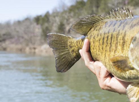 Smallmouth Bass Tail