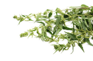 Common nettle isolated on white, Urtica dioica