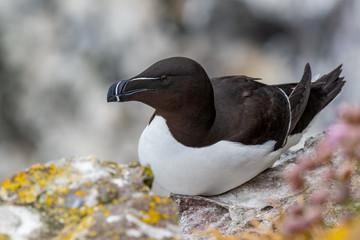 Razorbill (Alca torda) seabird nesting on cliff edge.