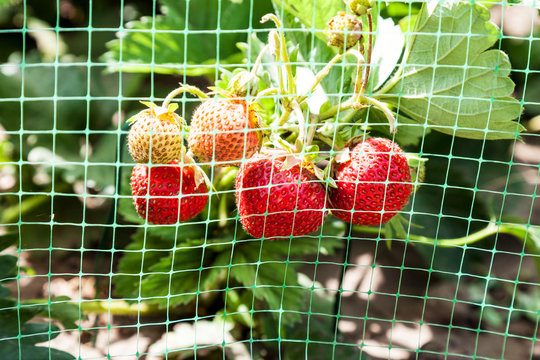 Strawberries bed covered with protective mesh from birds
