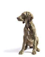 Cute Pure Bred Weimaraner puppy