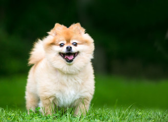 A cute Pomeranian dog with a happy expression