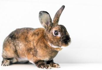 A Rex mixed breed domestic pet rabbit with tortoiseshell markings
