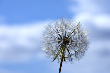 Closeup picture of Dandelion.