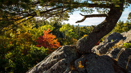 Windswept White Pine in autumn on mountain