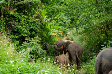 Elephant asia in forest