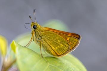 Large skipper resting on leaf