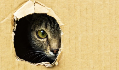 cat curiously looks out from a dark hole in a cardboard box Wall mural