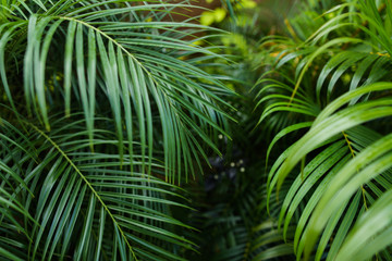 Palm leaves background photo. Concept of botany and foliage.