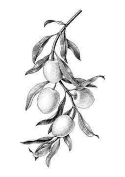 Olives branch illustration black and white vintage clip art isolate on white background