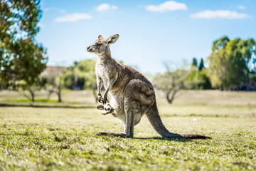 Photo sur Plexiglas Kangaroo Kangaroo with joey in pouch in country Australia - capturing the natural Australian kangaroos marsupial wildlife.