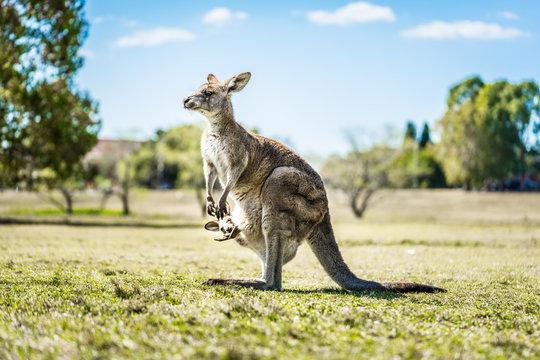 Kangaroo with joey in pouch in country Australia - capturing the natural Australian kangaroos marsupial wildlife.