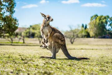 Deurstickers Kangoeroe Kangaroo with joey in country Australia - capturing the natural Australian wildlife marsupial kangaroos.