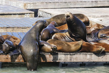 Two Sea Lions fight on a raft for the ranking. Sea Lions at San Francisco Pier 39 Fisherman's Wharf has become a major tourist attraction.