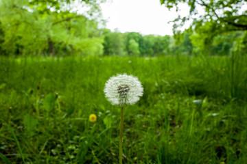 Blowball flower in Wilhelmshaven, Germany.