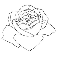 Beautiful monochrome sketch, black and white rose flower isolated