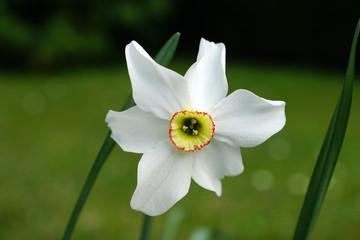 Papiers peints Narcisse Narcisse des Poètes