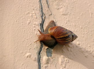 Snail slowly walking on the rose pink color wall. it is a mollusk with a single spiral shell into which the whole body can be withdrawn.