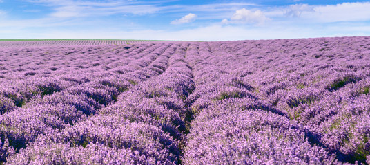Panoramic view of blooming lavender feeld.