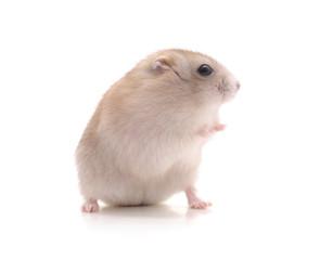 White little hamster.