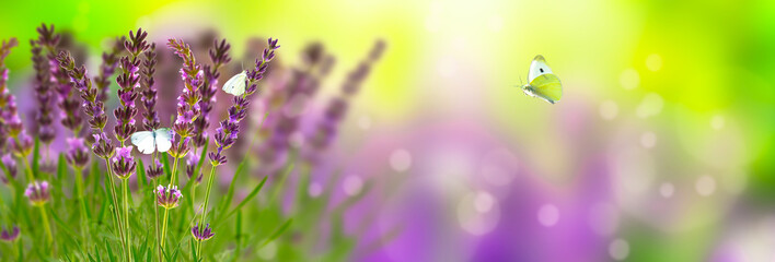 schmetterlinge im lavendel