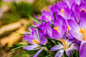 Crocus, plural crocuses or croci is a genus of flowering plants in the iris family. A single crocus, a bunch of crocuses, a meadow, close-up