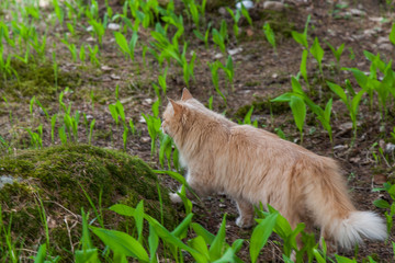 Fluffy red cat walks along wooden paths in the forest