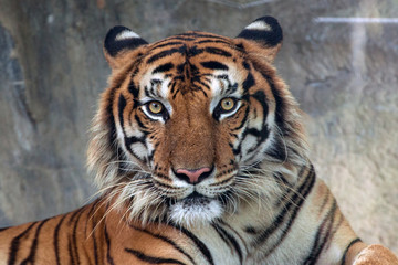 Fotorolgordijn Tijger Angry tiger,Sumatran tiger (Panthera tigris sumatrae) beautiful animal and his portrait