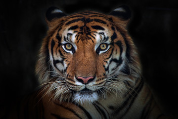 Spoed Fotobehang Tijger Angry tiger,Sumatran tiger (Panthera tigris sumatrae) beautiful animal and his portrait