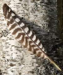 Turkey feather on birch