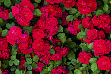 image on the desktop texture of red roses and green leaves