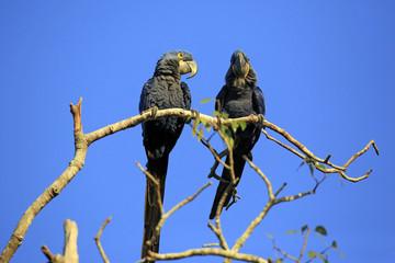 Two Hyacinth Macaws on a Branch. Pantanal, Brazil