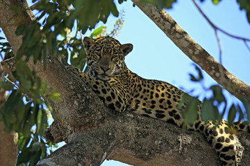Jaguar Resting in a Tree. Pantanal, Brazil
