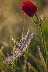 spider web in drops of dew and red poppy