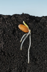Grain germination