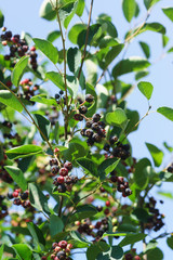 Canadian irgi Bush (lat. Amelanchier canadensis)with berries of different ripeness against the blue sky