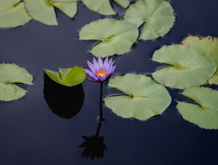 Purple Water lily 6