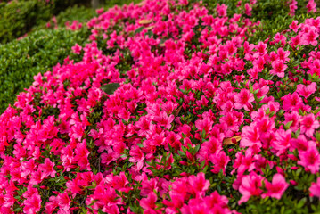 Colorful flowers in the gardens of the IMperial Palace in Tokyo