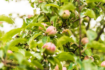 Apples grow on branches