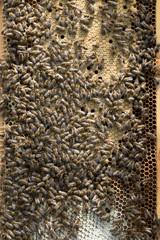 Bienenvolk