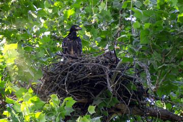 eagle baby 3