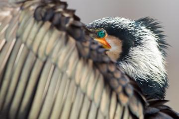 Kormoran schaut über seinen Flügel