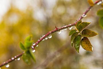 Gotas de lluvia colgando de rama de rosal silvestre