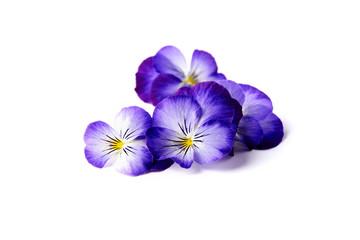 Fototapeta blue edible flowers of viola obraz
