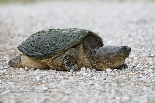 Female Common Snapping Turtle excavating a nest