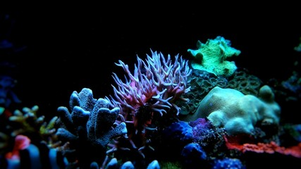 Pink Birdsnest Coral (Seriatopora hystrix)
