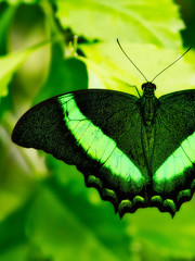 Close-up of an Emerald Swallowtail, papillio palinurus, on a soft focused green and yellow background