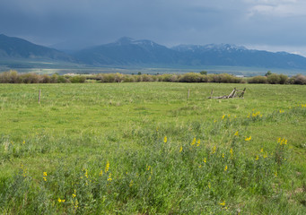 Green Pasture with Yellow Wildflowers, the Mountain Goldenbanner, in the foreground and blue mountains in the rain in the background.