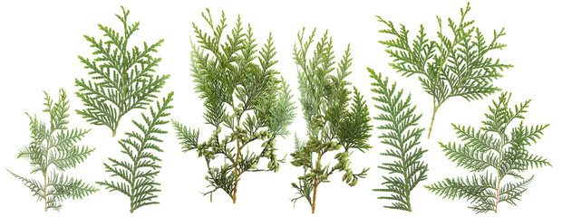 fresh green isolated conifer leaves on white, can be used as template for decoration, background