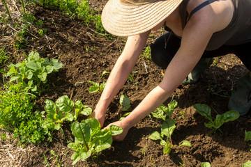 farmer woman tranplanting swiss chard  in the vegetable garden